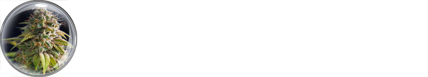 Cannabis i fokus