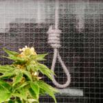 Man ska hängas för ett kilo cannabis